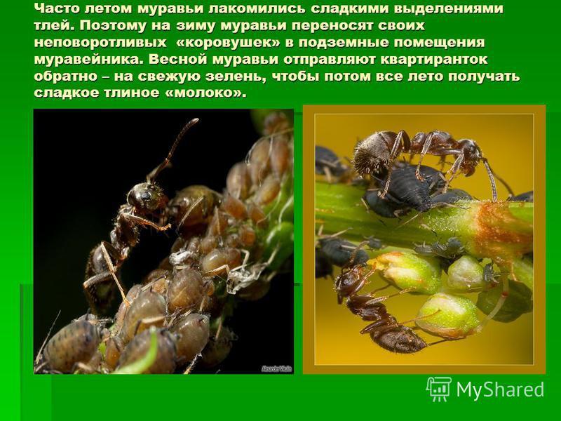 Часто летом муравьи лакомились сладкими выделениями тлей. Поэтому на зиму муравьи переносят своих неповоротливых «коровушек» в подземные помещения муравейника. Весной муравьи отправляют квартиранток обратно – на свежую зелень, чтобы потом все лето по