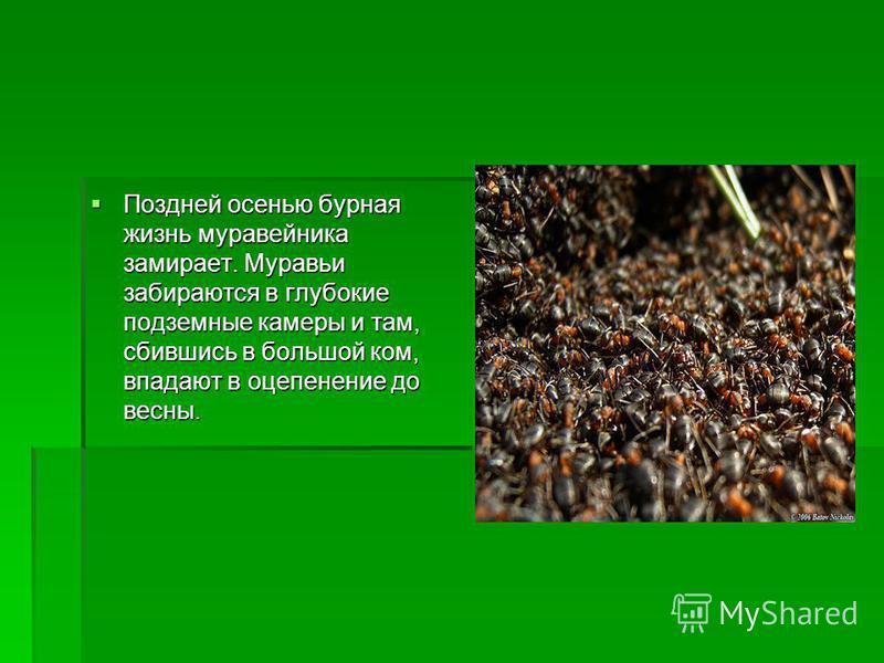 Поздней осенью бурная жизнь муравейника замирает. Муравьи забираются в глубокие подземные камеры и там, сбившись в большой ком, впадают в оцепенение до весны. Поздней осенью бурная жизнь муравейника замирает. Муравьи забираются в глубокие подземные к