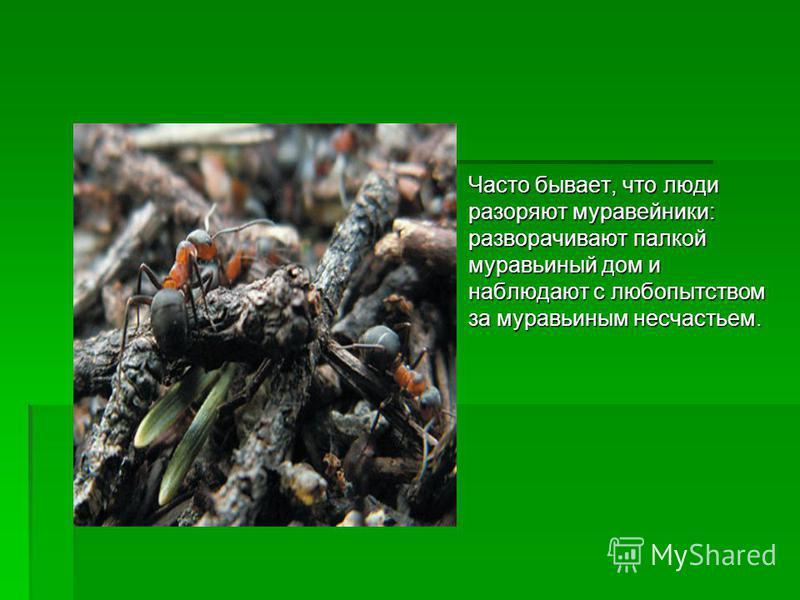 Часто бывает, что люди разоряют муравейники: разворачивают палкой муравьиный дом и наблюдают с любопытством за муравьиным несчастьем. Часто бывает, что люди разоряют муравейники: разворачивают палкой муравьиный дом и наблюдают с любопытством за мурав