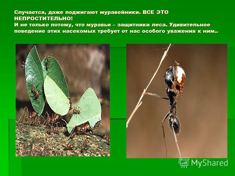 Случается, даже поджигают муравейники. ВСЕ ЭТО НЕПРОСТИТЕЛЬНО! И не только потому, что муравьи – защитники леса. Удивительное поведение этих насекомых требует от нас особого уважения к ним..