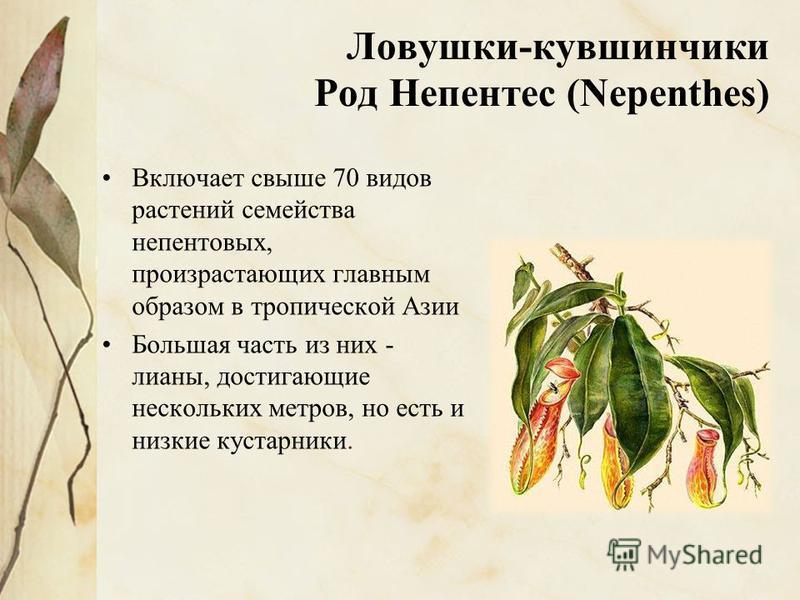 Ловушки-кувшинчики Род Непентес (Nepenthes) Включает свыше 70 видов растений семейства непентовых, произрастающих главным образом в тропической Азии Большая часть из них - лианы, достигающие нескольких метров, но есть и низкие кустарники.