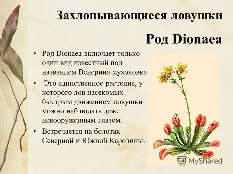 Род Dionaea Род Dionaea включает только один вид известный под названием Венерина мухоловка. Это единственное растение, у которого лов насекомых быстрым движением ловушки можно наблюдать даже невооруженным глазом. Встречается на болотах Северной и Юж