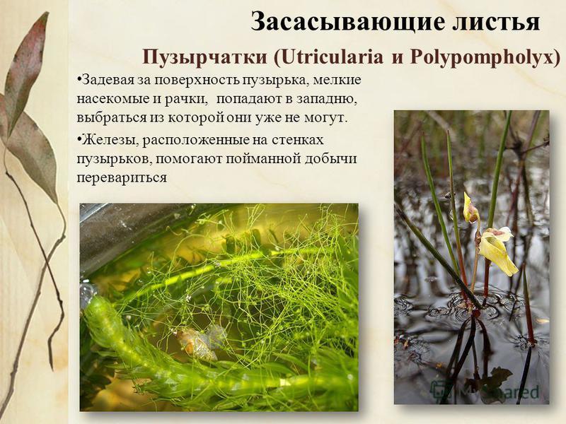 Пузырчатки (Utricularia и Polypompholyx) Задевая за поверхность пузырька, мелкие насекомые и рачки, попадают в западню, выбраться из которой они уже не могут. Железы, расположенные на стенках пузырьков, помогают пойманной добычи перевариться Засасыва