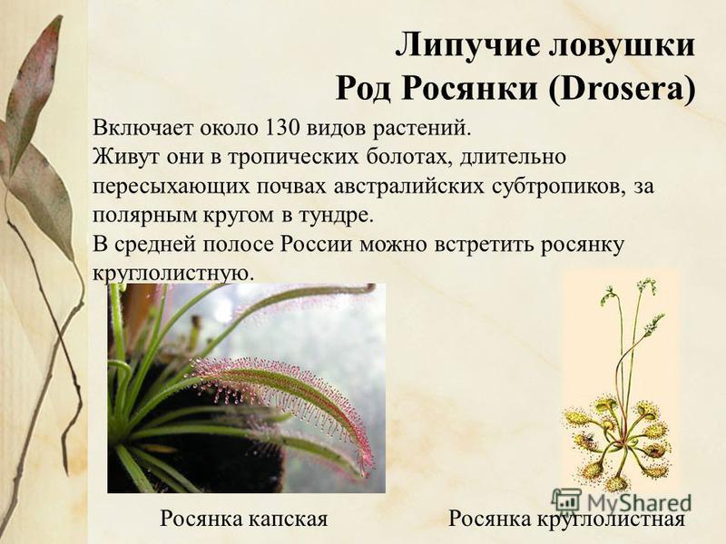 Липучие ловушки Род Росянки (Drosera) Включает около 130 видов растений. Живут они в тропических болотах, длительно пересыхающих почвах австралийских субтропиков, за полярным кругом в тундре. В средней полосе России можно встретить росянку круглолист