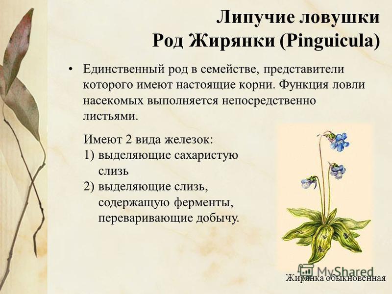 Липучие ловушки Род Жирянки (Pinguicula) Единственный род в семействе, представители которого имеют настоящие корни. Функция ловли насекомых выполняется непосредственно листьями. Жирянка обыкновенная Имеют 2 вида железок: 1)выделяющие сахаристую слиз