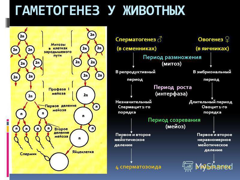 ГАМЕТОГЕНЕЗ У ЖИВОТНЫХ Сперматогенез Овогенез (в семенниках) (в яичниках) Период размножения (митоз) В репродуктивный В эмбриональный период период Период роста (интерфаза) Незначительный Длительный период Спермацит 1-го Овоцит 1-го порядка порядка П