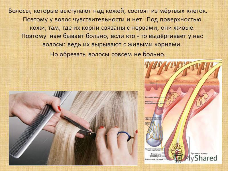 Волосы, которые выступают над кожей, состоят из мёртвых клеток. Поэтому у волос чувствительности и нет. Под поверхностью кожи, там, где их корни связаны с нервами, они живые. Поэтому нам бывает больно, если кто - то выдёргивает у нас волосы: ведь их