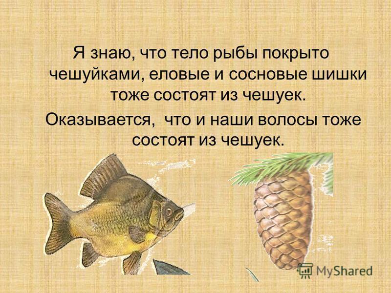 Я знаю, что тело рыбы покрыто чешуйками, еловые и сосновые шишки тоже состоят из чешуек. Оказывается, что и наши волосы тоже состоят из чешуек.
