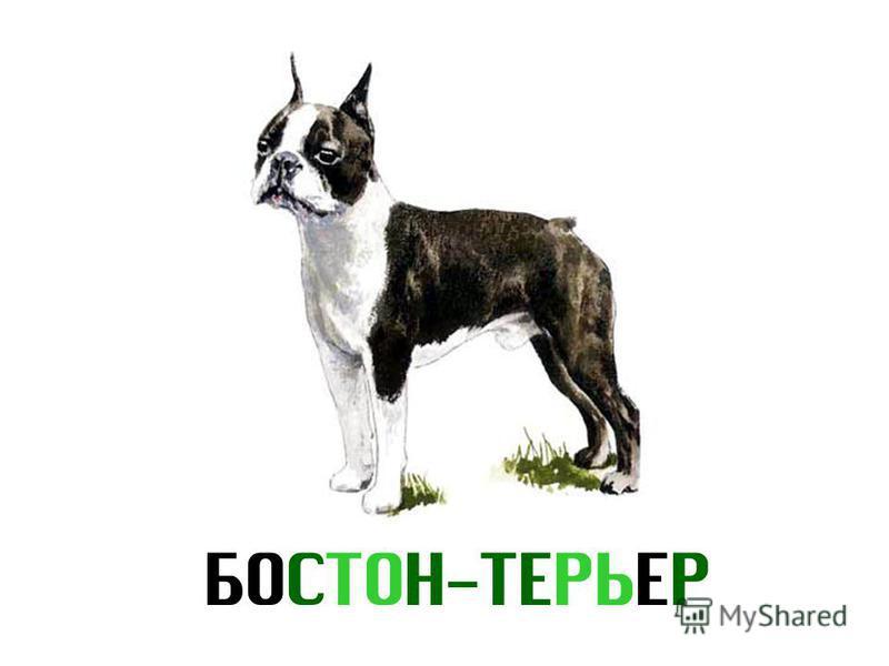 БОСТОН-ТЕРЬЕР