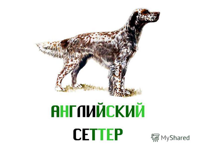 АНГЛИЙСКИЙ СЕТТЕР