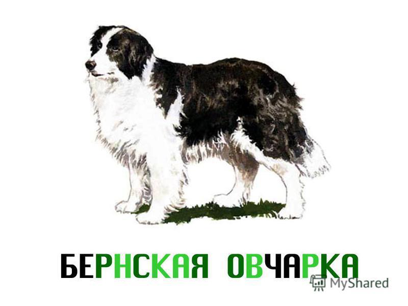 БЕРНСКАЯ ОВЧАРКА
