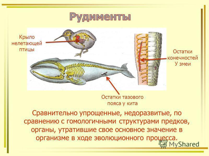 Крыло нелетающей птицы Остатки конечностей У змеи Остатки тазового пояса у кита Сравнительно упрощенные, недоразвитые, по сравнению с гомологичными структурами предков, органы, утратившие свое основное значение в организме в ходе эволюционного процес