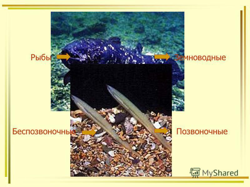 Рыбы Земноводные Беспозвоночные Позвоночные