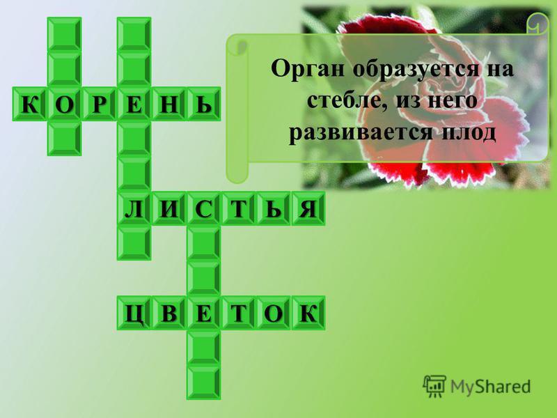 ЕКОРНЬ ЯЛИТЬС ЕОКТВЦ Орган образуется на стебле, из него развивается плод