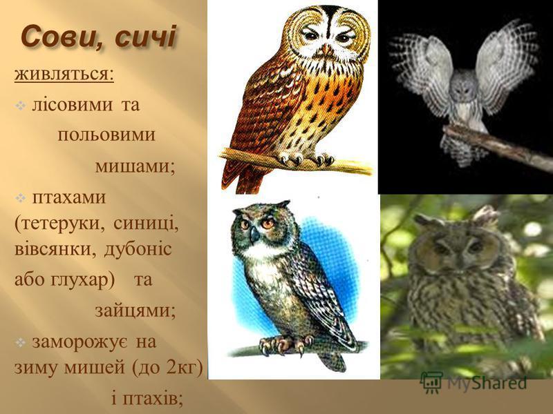 Сови, сичі живляться : лісовими та польовими мишами ; птахами ( тетеруки, синиці, вівсянки, дубоніс або глухар ) та зайцями ; заморожує на зиму мишей ( до 2 кг ) і птахів ;