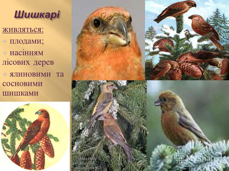 Шишкарі живляться : плодами ; насінням лісових дерев ялиновими та сосновими шишками