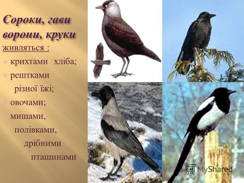 Сороки, гави ворони, круки живляться : крихтами хліба ; рештками різної їжі ; овочами ; мишами, полівками, дрібними пташинами