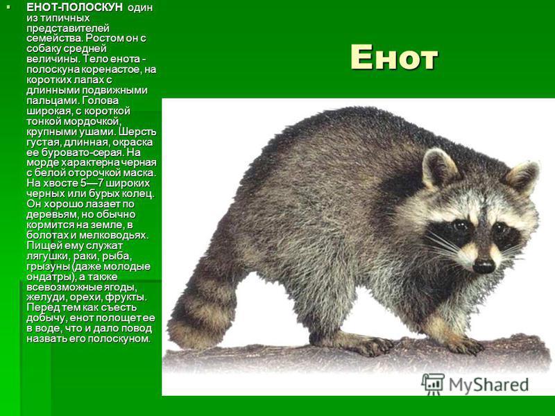 Енот Енот ЕНОТ-ПОЛОСКУН один из типичных представителей семейства. Ростом он с собаку средней величины. Тело енота - полоскуна коренастое, на коротких лапах с длинными подвижными пальцами. Голова широкая, с короткой тонкой мордочкой, крупными ушами.