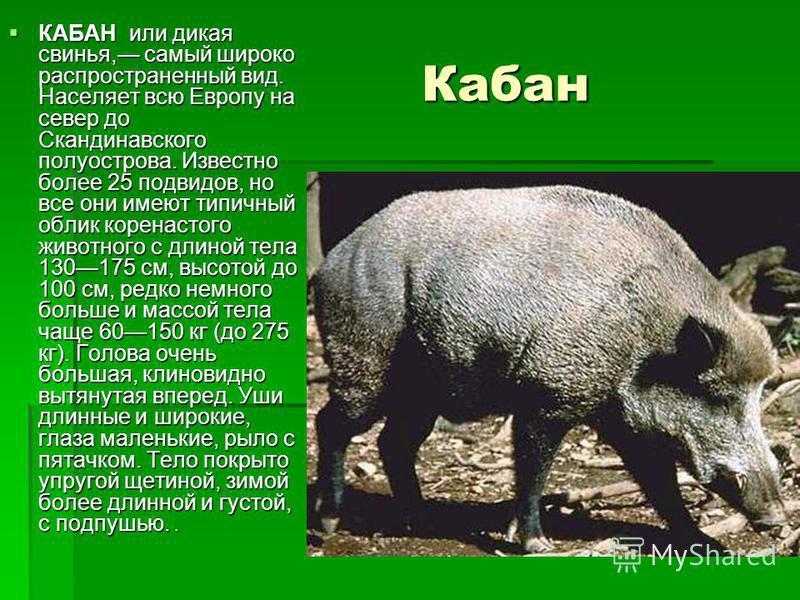 Кабан Кабан КАБАН или дикая свинья, самый широко распространенный вид. Населяет всю Европу на север до Скандинавского полуострова. Известно более 25 подвидов, но все они имеют типичный облик коренастого животного с длиной тела 130175 см, высотой до 1