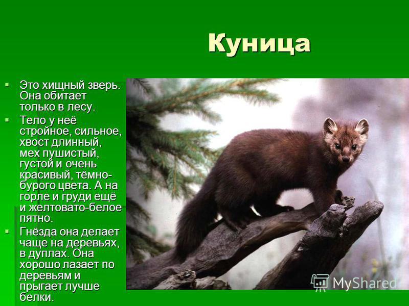 Куница Куница Это хищный зверь. Она обитает только в лесу. Это хищный зверь. Она обитает только в лесу. Тело у неё стройное, сильное, хвост длинный, мех пушистый, густой и очень красивый, тёмно- бурого цвета. А на горле и груди ещё и желтовато-белое