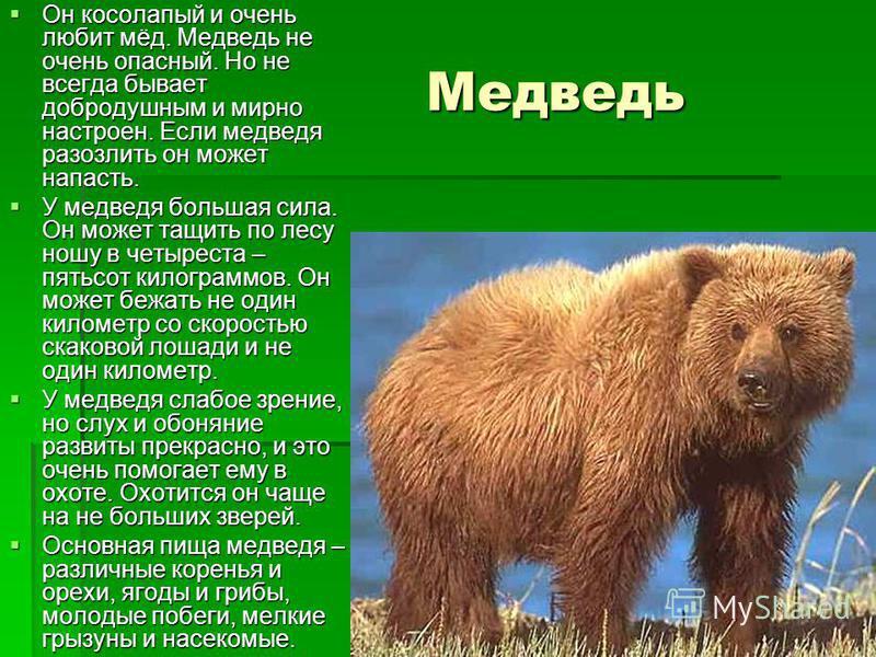 Медведь Медведь Он косолапый и очень любит мёд. Медведь не очень опасный. Но не всегда бывает добродушным и мирно настроен. Если медведя разозлить он может напасть. Он косолапый и очень любит мёд. Медведь не очень опасный. Но не всегда бывает доброду