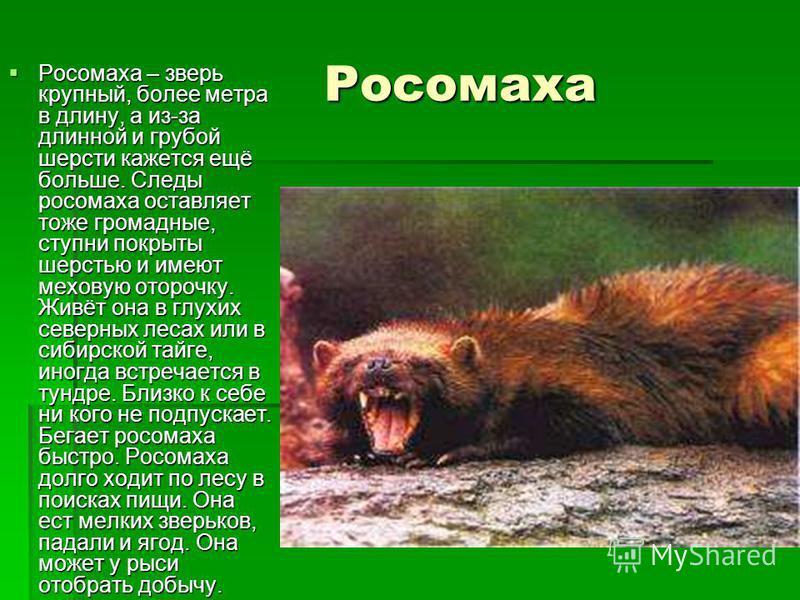 Росомаха Росомаха Росомаха – зверь крупный, более метра в длину, а из-за длинной и грубой шерсти кажется ещё больше. Следы росомаха оставляет тоже громадные, ступни покрыты шерстью и имеют меховую оторочку. Живёт она в глухих северных лесах или в сиб