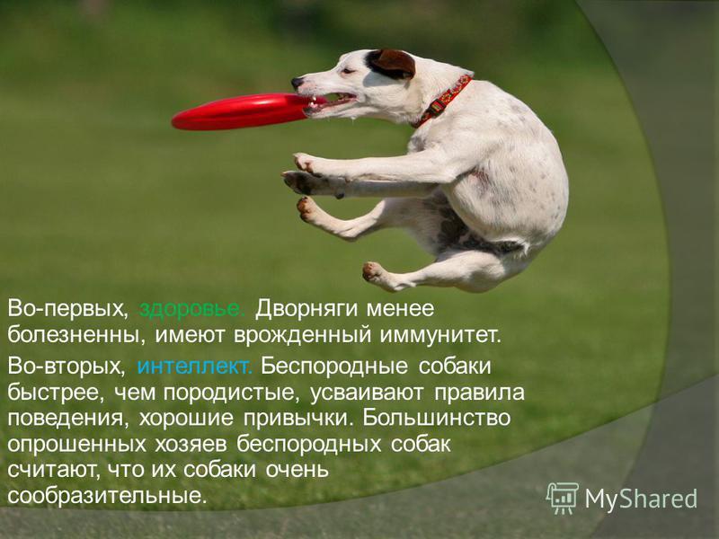 Во-первых, здоровье. Дворняги менее болезненны, имеют врожденный иммунитет. Во-вторых, интеллект. Беспородные собаки быстрее, чем породистые, усваивают правила поведения, хорошие привычки. Большинство опрошенных хозяев беспородных собак считают, что