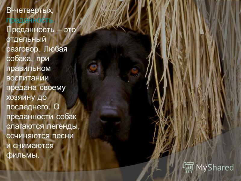 В-четвертых, преданность. Преданность – это отдельный разговор. Любая собака, при правильном воспитании предана своему хозяину до последнего. О преданности собак слагаются легенды, сочиняются песни и снимаются фильмы.