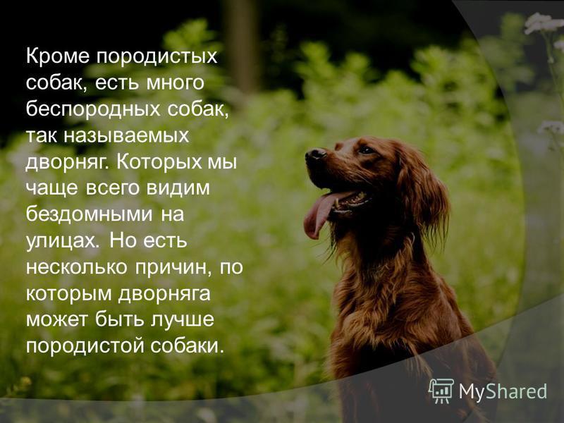 Кроме породистых собак, есть много беспородных собак, так называемых дворняг. Которых мы чаще всего видим бездомными на улицах. Но есть несколько причин, по которым дворняга может быть лучше породистой собаки.