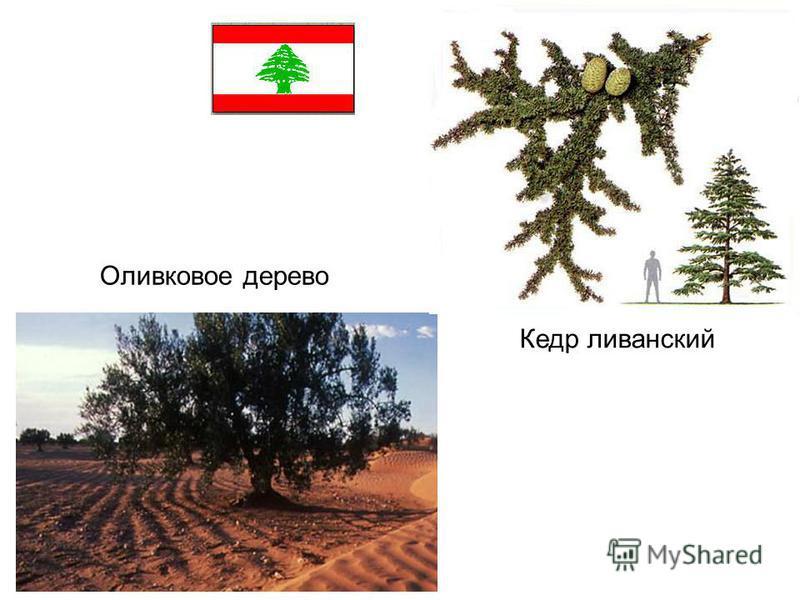 Оливковое дерево Кедр ливанский