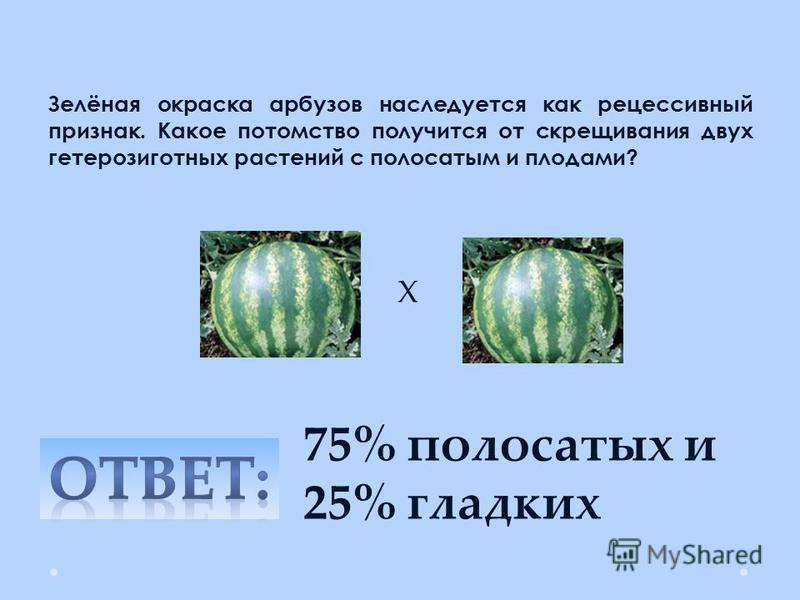 Зелёная окраска арбузов наследуется как рецессивный признак. Какое потомство получится от скрещивания двух гетерозиготных растений с полосатым и плодами? 75% полосатых и 25% гладких Х