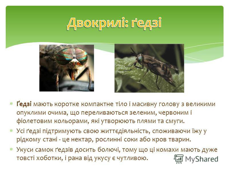 Ґедзі мають коротке компактне тіло і масивну голову з великими опуклими очима, що переливаються зеленим, червоним і фіолетовим кольорами, які утворюють плями та смуги. Усі ґедзі підтримують свою життєдіяльність, споживаючи їжу у рідкому стані - це не