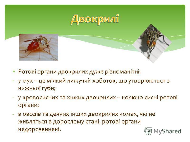 Ротові органи двокрилих дуже різноманітні: -у мух – це м'який лижучий хоботок, що утворюються з нижньої губи; -у кровосисних та хижих двокрилих – колючо-сисні ротові органи; -в оводів та деяких інших двокрилих комах, які не живляться в дорослому стан