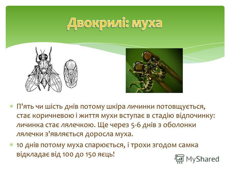 П'ять чи шість днів потому шкіра личинки потовщується, стає коричневою і життя мухи вступає в стадію відпочинку: личинка стає лялечкою. Ще через 5-6 днів з оболонки лялечки з'являється доросла муха. 10 днів потому муха спарюється, і трохи згодом самк
