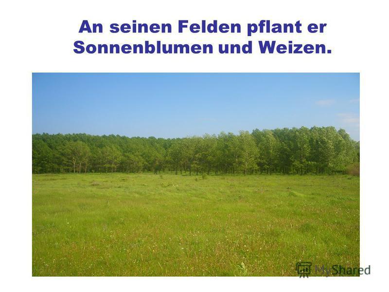 An seinen Felden pflant er Sonnenblumen und Weizen.