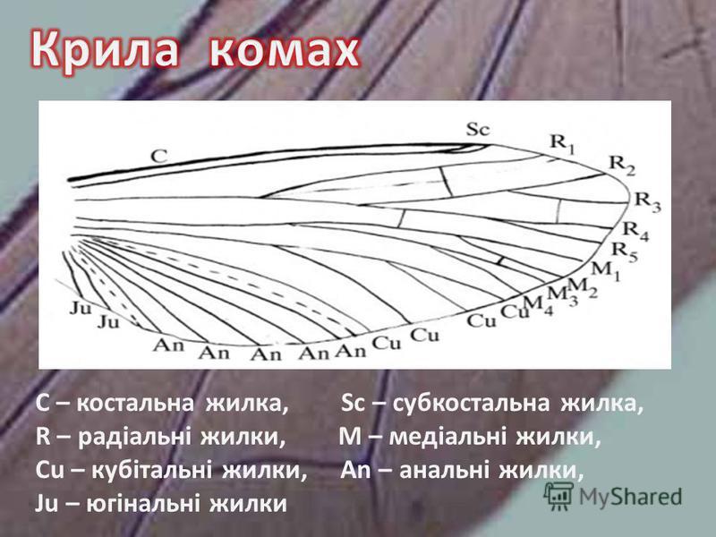 C – костальна жилка, Sc – субкостальна жилка, R – радіальні жилки, М – медіальні жилки, Cu – кубітальні жилки, An – анальні жилки, Ju – югінальні жилки