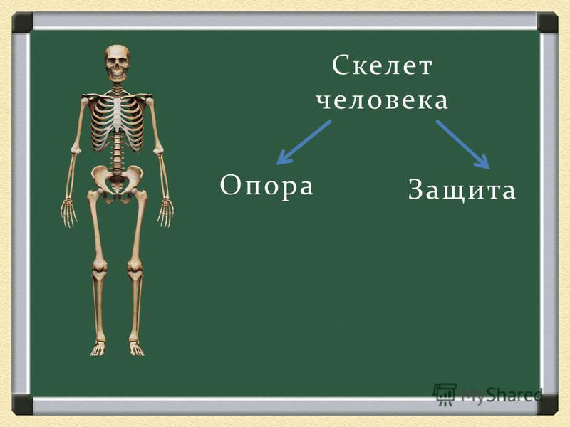 Скелет человека Опора Защита