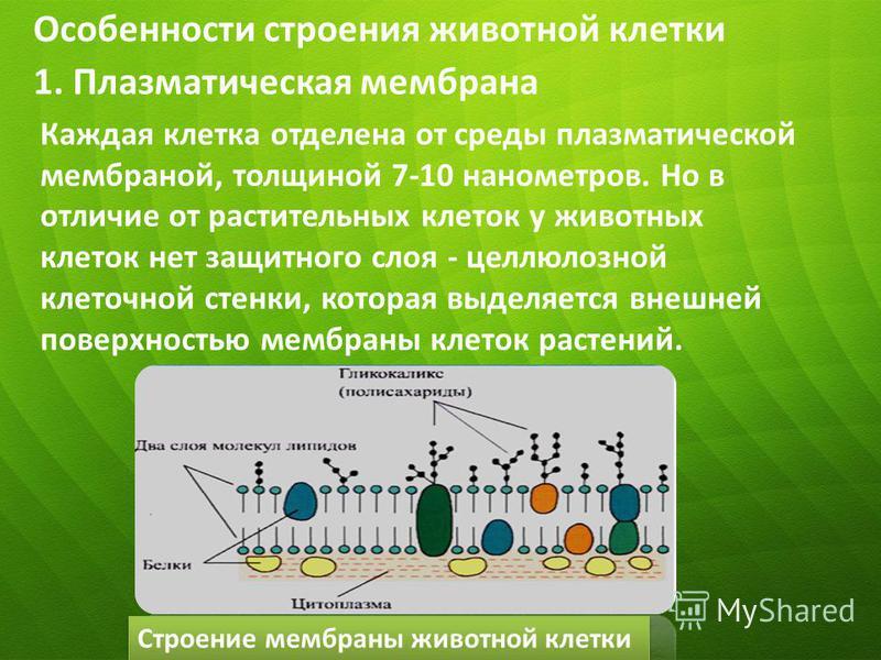 Особенности строения животной клетки Каждая клетка отделена от среды плазматической мембраной, толщиной 7-10 нанометров. Но в отличие от растительных клеток у животных клеток нет защитного слоя - целлюлозной клеточной стенки, которая выделяется внешн