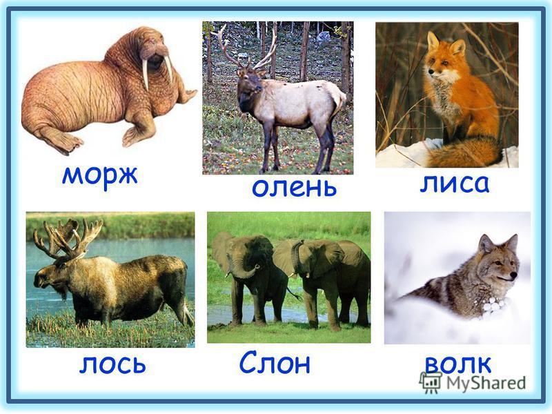 морж лиса олень лось Слонволк