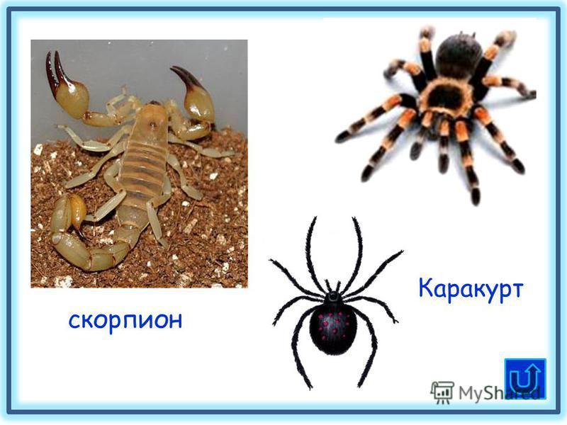 скорпион Каракурт