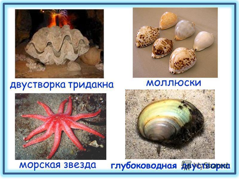 двустворка тридакна моллюски морская звезда глубоководная двустворка