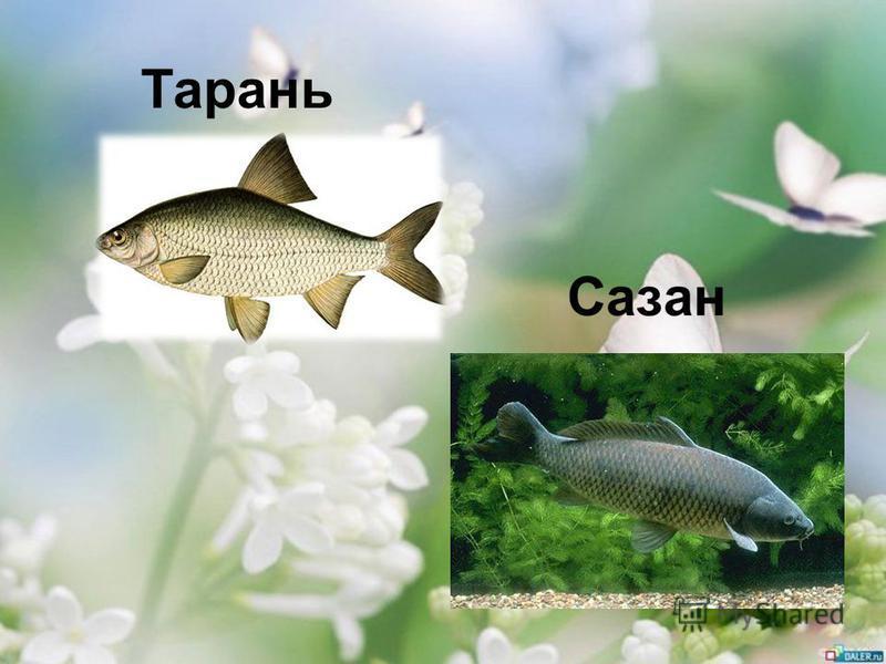 Тарань