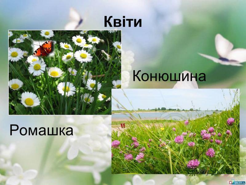Квіти Конюшина Ромашка
