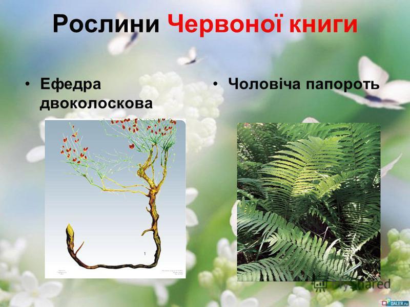 Рослини Червоної книги Ефедра двоколоскова Чоловіча папороть