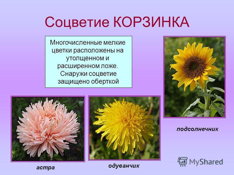 Соцветие КОРЗИНКА Многочисленные мелкие цветки расположены на утолщенном и расширенном ложе. Снаружи соцветие защищено оберткой подсолнечник одуванчик астра
