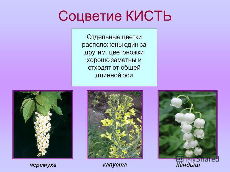 Соцветие КИСТЬ Отдельные цветки расположены один за другим, цветоножки хорошо заметны и отходят от общей длинной оси капуста черемуха ландыш
