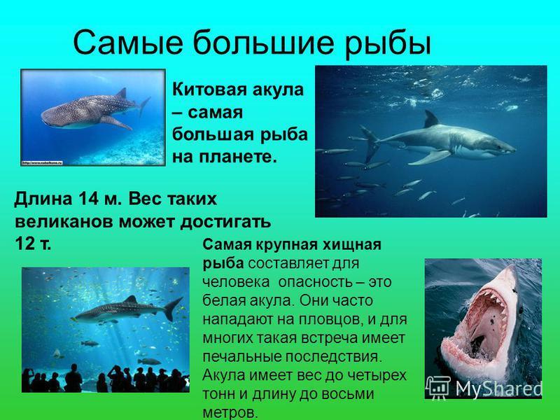 Самые большие рыбы Китовая акула – самая большая рыба на планете. Длина 14 м. Вес таких великанов может достигать 12 т. Самая крупная хищная рыба составляет для человека опасность – это белая акула. Они часто нападают на пловцов, и для многих такая в