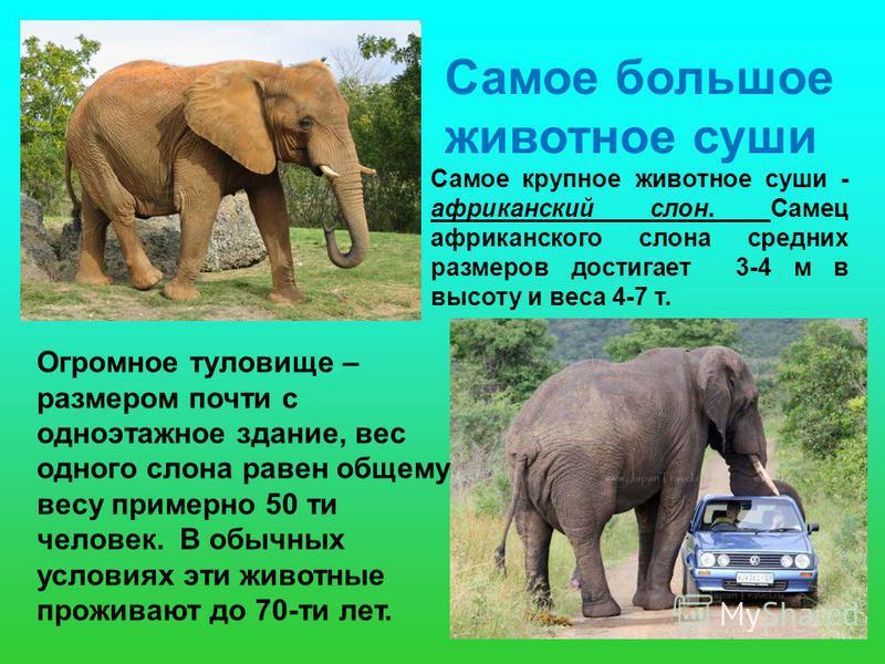 Самое большое животное суши Самое крупное животное суши - африканский слон. Самец африканского слона средних размеров достигает 3-4 м в высоту и веса 4-7 т. Огромное туловище – размером почти с одноэтажное здание, вес одного слона равен общему весу п