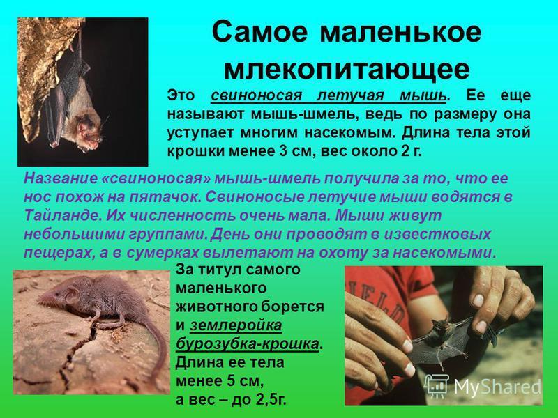 Самое маленькое млекопитающее Это свиноносая летучая мышь. Ее еще называют мышь-шмель, ведь по размеру она уступает многим насекомым. Длина тела этой крошки менее 3 см, вес около 2 г. Название «свиноносая» мышь-шмель получила за то, что ее нос похож