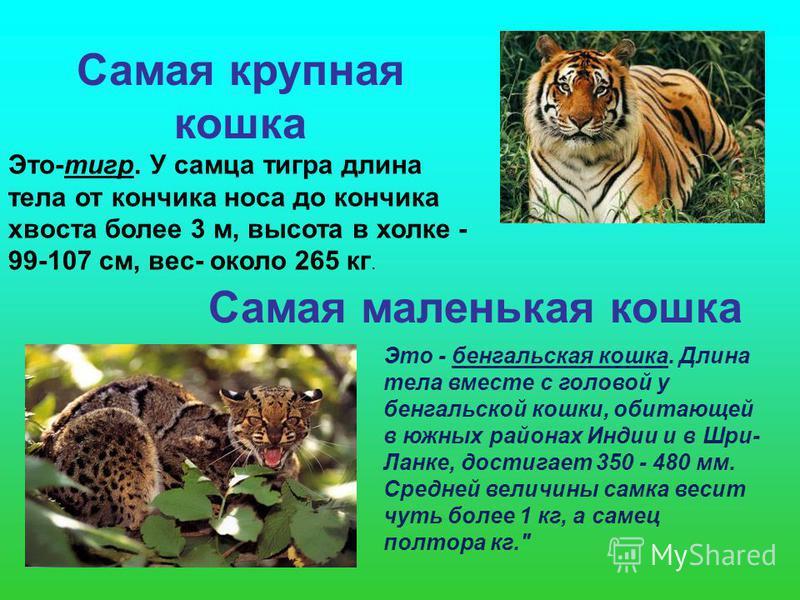 Самая крупная кошка Это-тигр. У самца тигра длина тела от кончика носа до кончика хвоста более 3 м, высота в холке - 99-107 см, вес- около 265 кг. Самая маленькая кошка Это - бенгальская кошка. Длина тела вместе с головой у бенгальской кошки, обитающ